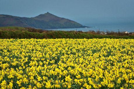 1280px-Cornwall_Daffodils