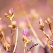 blush of spring